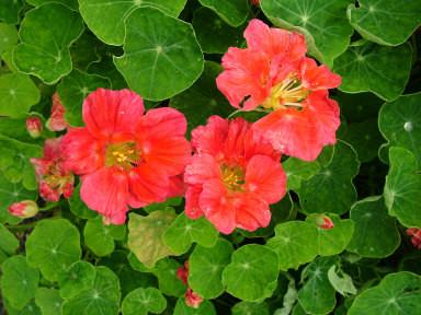 Edible Flowers Rhs Gardening
