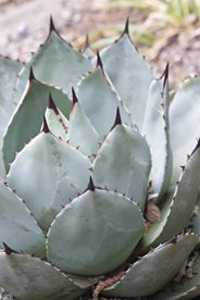 Agave parryi - beware of spines!