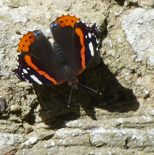 A late red admiral butterfly suns itself on a wall