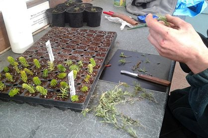 Taking Sedum and Zauschneria cutting by hand and putting them in a tray