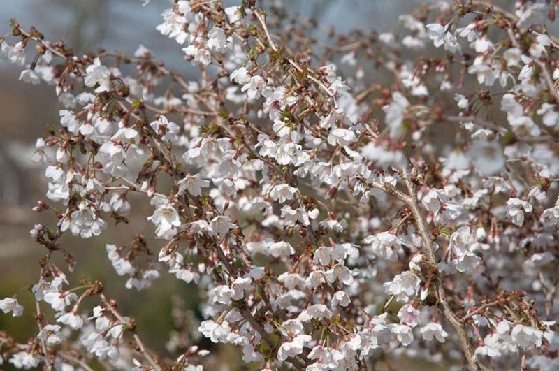 Cherry trees suitable for small gardens rhs gardening for Small garden trees rhs