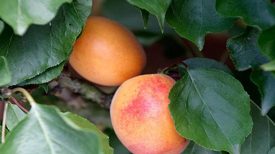 Fan-trained apricot