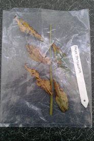 A sample of a diseased plant packaged ready to be sent for testing