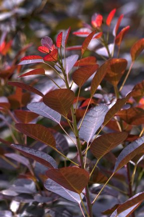 Trees And Shrubs Colourful Foliage Rhs Gardening