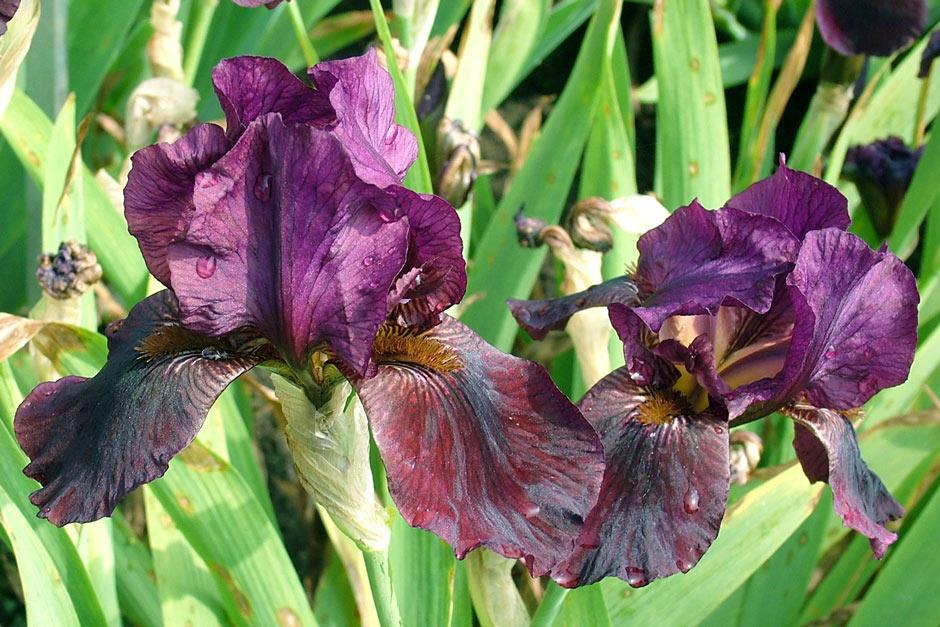 Growing Irises Iris Growing Tips From Doddington Hall Rhs Gardening