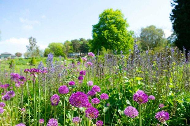 See beautiful alliums in rhs gardens rhs gardening