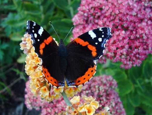 Red admiral on Buddleja