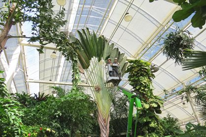 Traveller's palm in The Glasshouse at RHS Garden Wisley