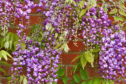 Climbers and wall shrubs for sun / RHS Gardening