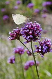 Verbena bonariensis is a favourite with pollinating insects