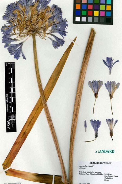 Agapanthus sample