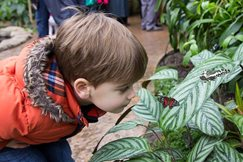 Child looks at butterflies on a leaf