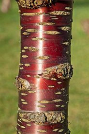 The beautiful red peeling bark of Prunus serrula