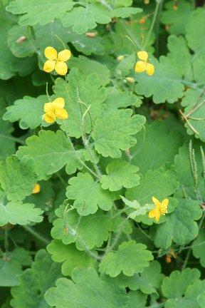 Greater celandine / RHS Gardening