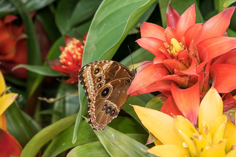 Butterfly on orange yellow bromeliads
