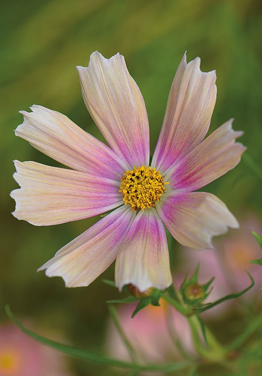 Graham Rice S New Plants Blog Breakthrough Colour In Annual Cosmos Rhs Gardening