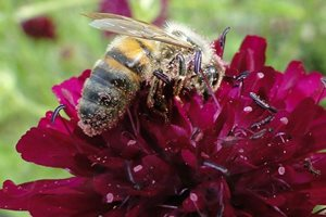 Bee on knautia