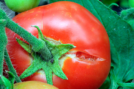 Cracking in tomatoes is caused by fluctuating moisture levels in compost. Image: ©Garden World Images