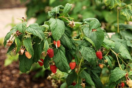 Raspberry / RHS Gardening