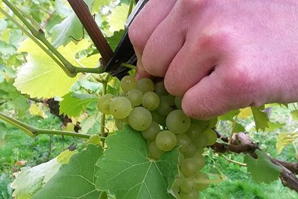 Orion grapes being picked