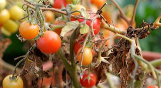 Tomato blight is being reported earlier this year