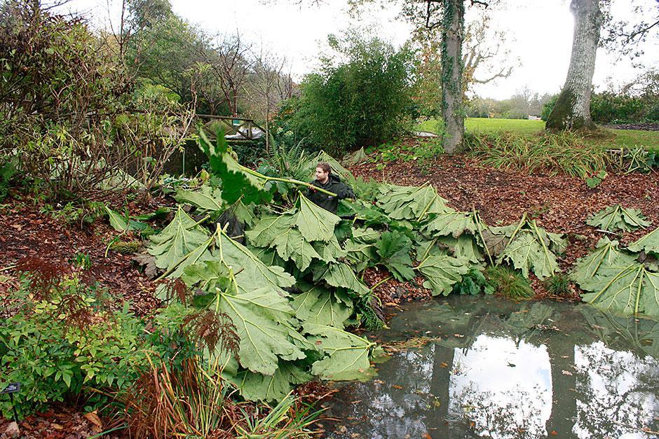 RHS Garden Rosemoor blog Winter protection for Gunnera RHS Gardening