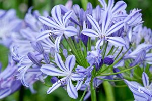 Agapanthus 'Moonlight Star'