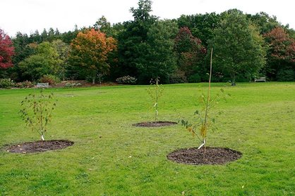 Newly planted birch trees