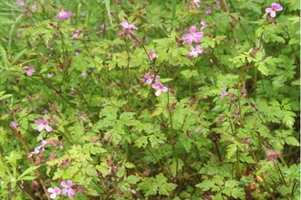 Identify common weeds rhs gardening herb robert red robin storksbill pink flowers mightylinksfo