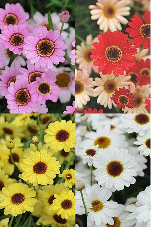 Click to enlarge: Argranthemum GranDaisy Collection