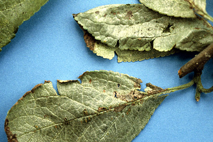 Silver leaf on plum. Image: RHS, Horticultural Science