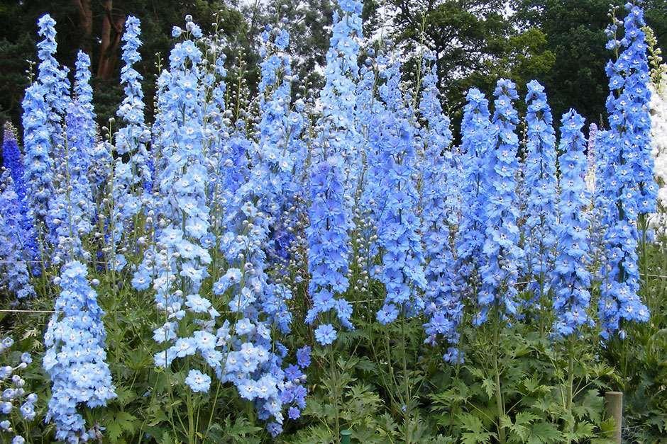 Rhs Plant Registration Delphinium Cultivar Rhs Gardening