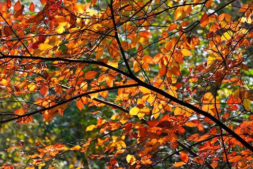 Autumn colour on amelanchier