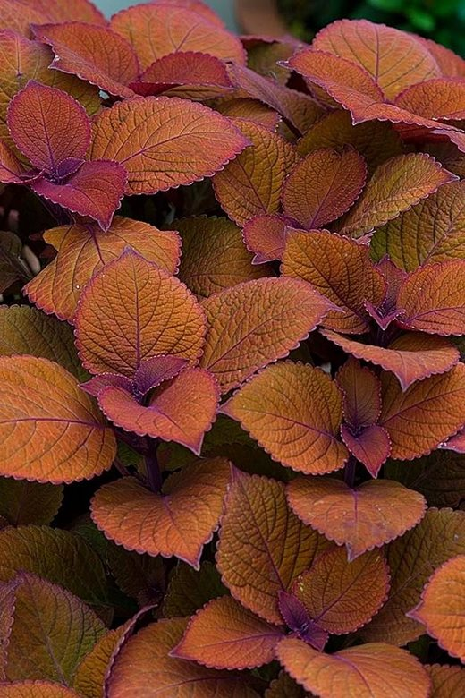 Coleus Campfire, winner of an RHS People's Choice Award 2016