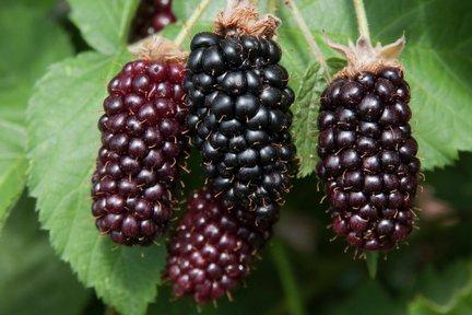 Rhs Trial Of Hybrid Berries Blackberry Karaka Black