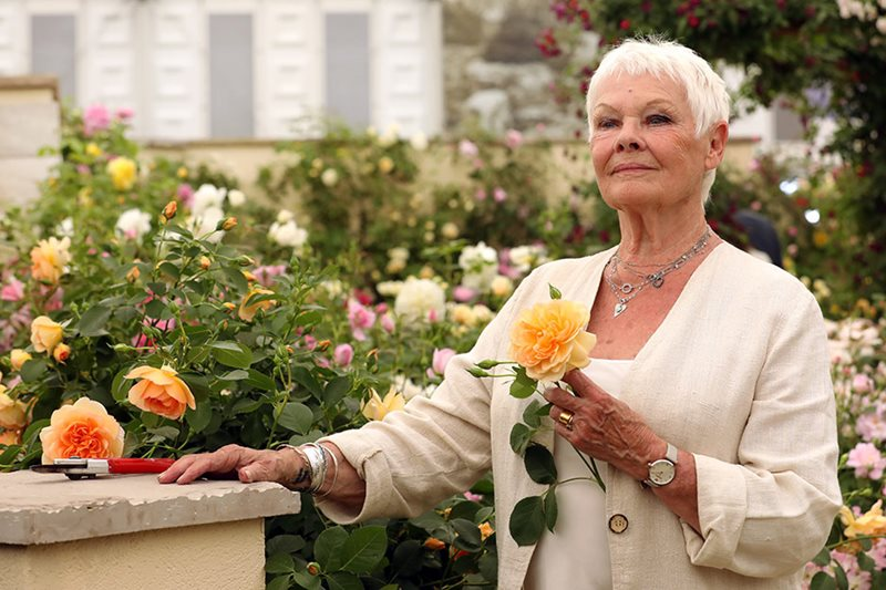 Dame Judi Dench with her David Austin Rose