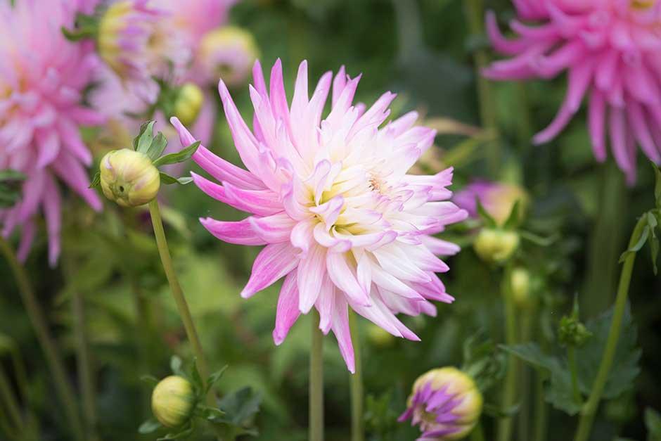 How To Grow Dahlias Rhs Gardening