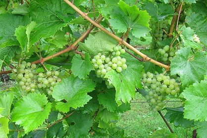 grapes ripening in the orchard