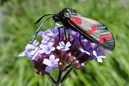 6 spot burnet moth on Verbena bonariensis