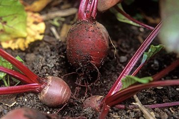 how to grow beetroot in containers