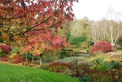 Liquidambars and silver birches by the lake at RHS Garden Rosemoor