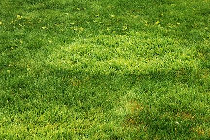 Coarse Grasses In Lawns Rhs Gardening