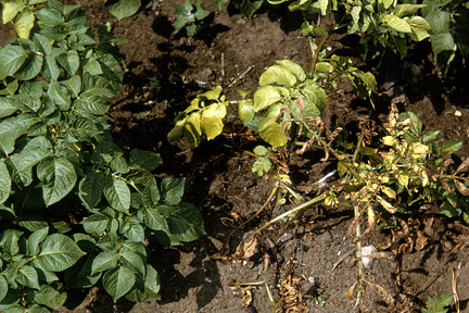 Healthy potato (left) and one infected with potato blackleg (right). Image: RHS, Horticultural Science