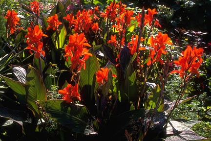Cannas in midsummer. Credit:RHS/Education.
