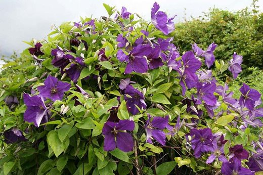 how to cut back a clematis in spring
