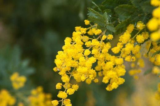 Top 10 flowering trees for small gardens rhs gardening acacia baileyana flowers dainty yellow pompoms mightylinksfo