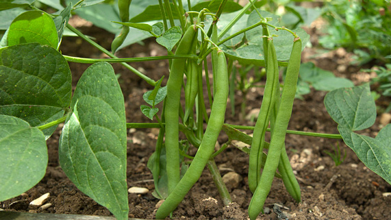 How To Grow French Beans Rhs Gardening