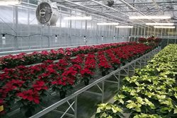 Poinsettias colouring up