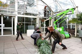 The arboriculturists manouevre the Christmas tree into position