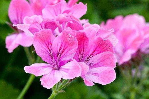Pelargonium 'Pink Champagne'